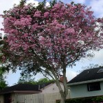 Beautiful Trees with Pink Flowers in Southern California