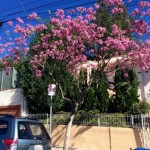 Early Spring Pink Flowering Trees