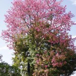 Beautiful Pink Flowering Trees